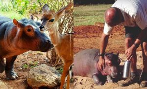 baby hippo Humpty gets rescued