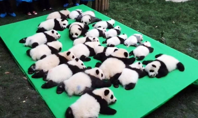 baby pandas make their public debut