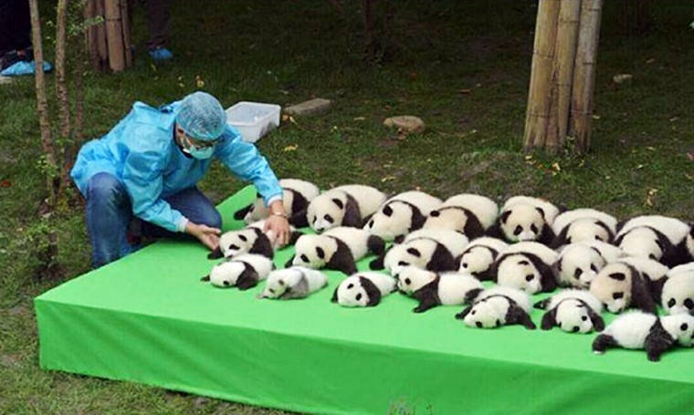 chengdu baby pandas on display
