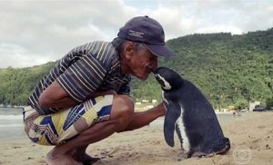 loyal penguin visits man who rescued him