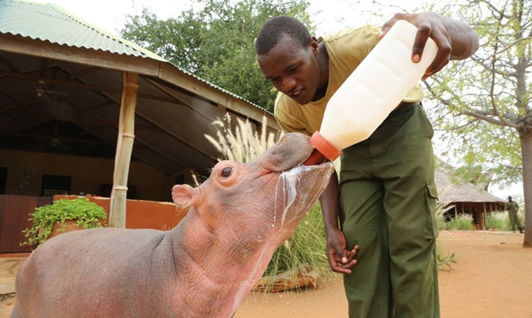 orphaned baby hippo
