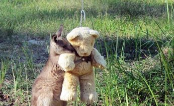 orphaned baby kangaroo hugs teddy bear