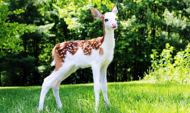 rare white-faced baby fawn