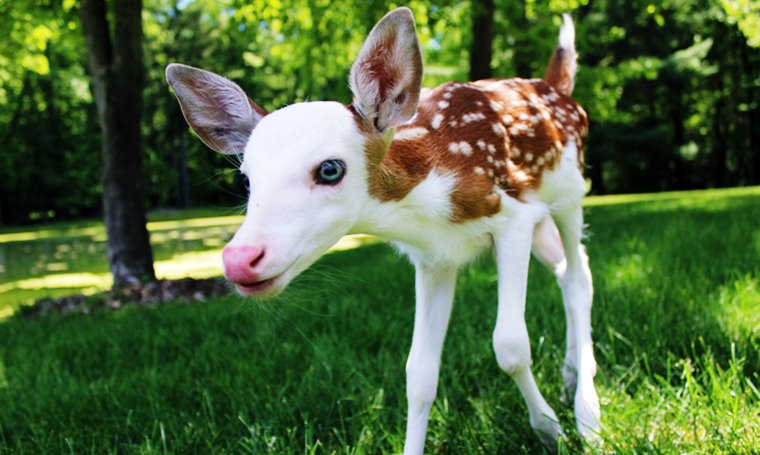 white-faced fawn